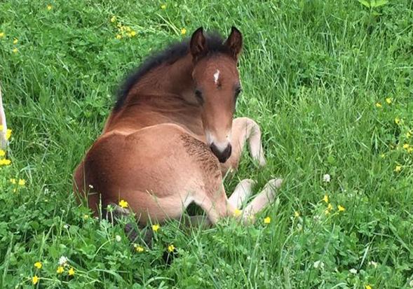 foal1lsu